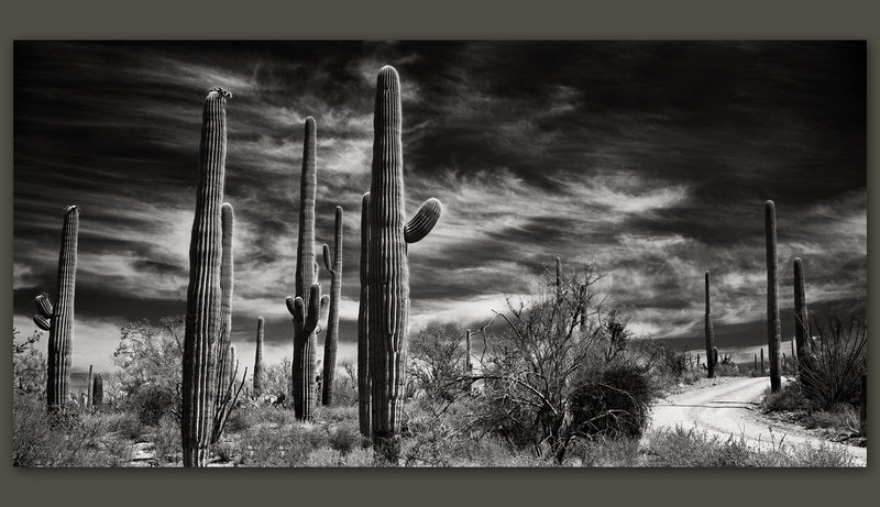 Saguaros, Saguaro National Park, Arizona