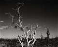 Dead Tree and Cacti, Arizona