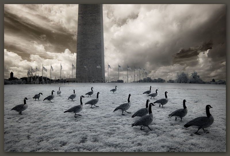 Geese at the Washington Monument, Washington, D.C.